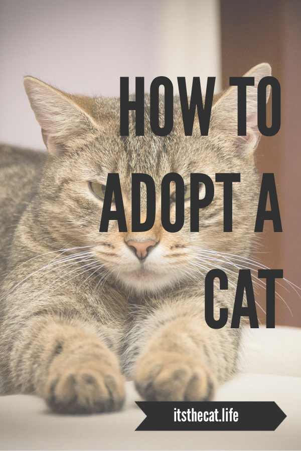 how to adopt a cat